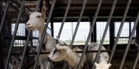 Wisconsin doubles down on dairy distinction with goat farms