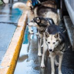 Dogs in Jan Steves' team wait to be harnessed before the ceremonial start of the Iditarod Trail Sled Dog Race, Saturday, March 7, 2015, in Anchorage, Alaska. The start of competition was moved to Fairbanks because of a lack of snow in the Anchorage area. (AP Photo/Alaska Dispatch News, Loren Holmes)