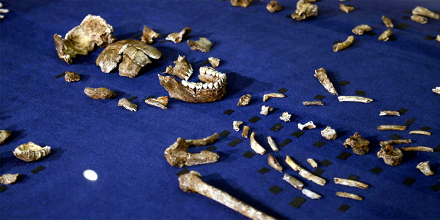 A composite skeleton of Homo naledi surrounded by some of the hundreds of other fossil elements dis...