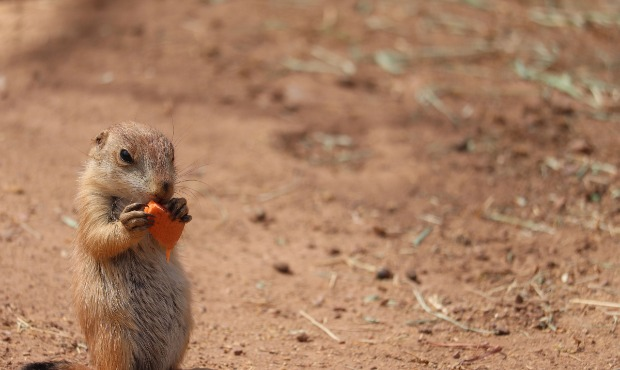 The Phoenix Zoo announced the birth of 14 prairie dog pups this week. (Photo courtesy of the Phoeni...