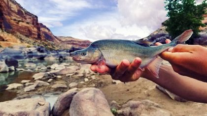 FILE - This undated photo provided by the U.S. Fish and Wildlife Service shows a humpback chub in t...