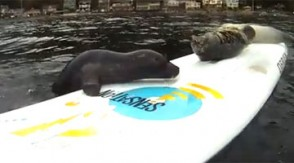 Seal slips repeatedly on surfboard